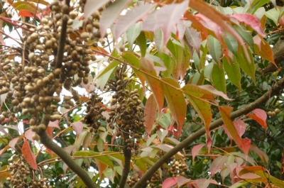 ハゼノキ ウルシ科で葉に触れるとかぶれます。かってロウソクに使われました。