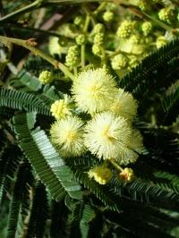 モリシマアカシア 白いボール状の花を咲かせ甘いにおいを漂わせます。鷲羽山を代表する植物